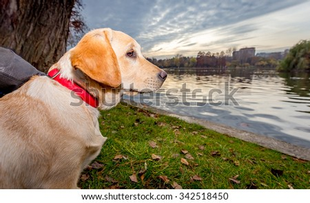 Labrador Puppy Dog by the lake at sunset - stock photo