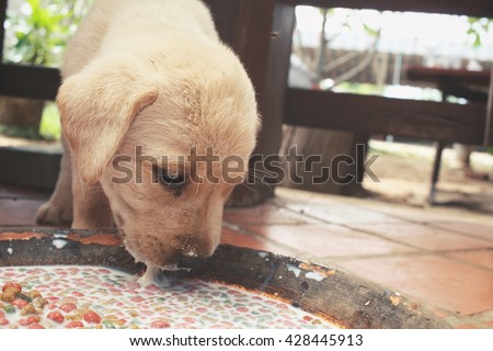 Labrador puppy eating dog food