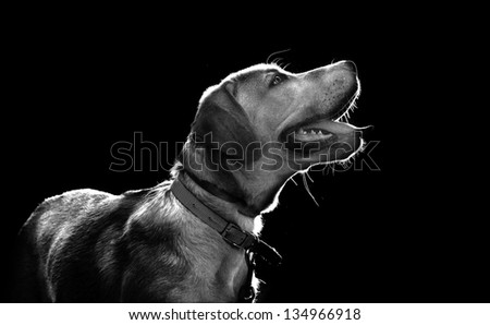 Labrador puppy isolated on black background - stock photo