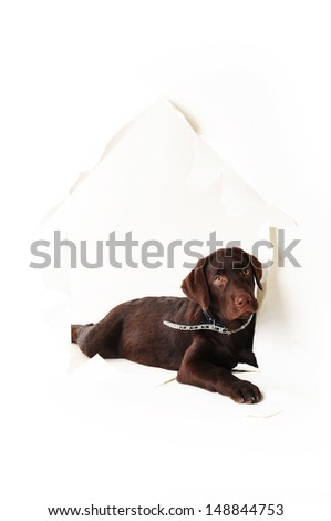 labrador puppy lying in a hole of paper house on a white background