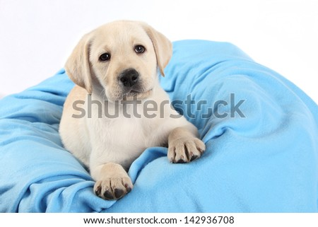 Labrador Puppy on a blue blanket and white background - stock photo