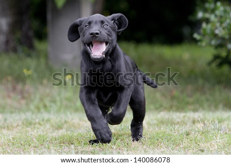labrador puppy playing in the meadow
