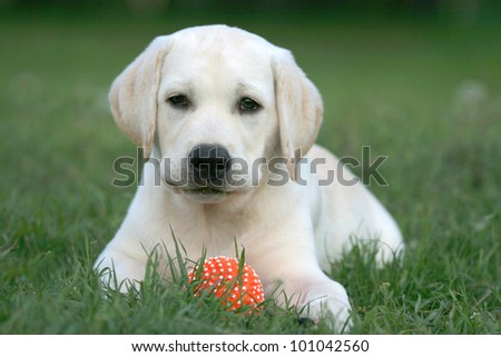 labrador puppy playing with a ball - stock photo