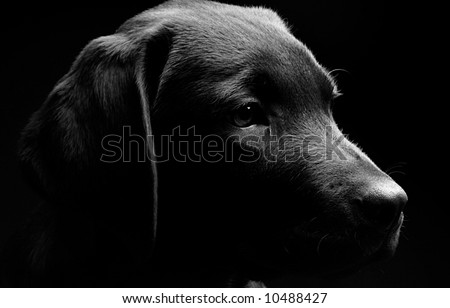 Labrador Puppy Profile in Black and White against a Black Background