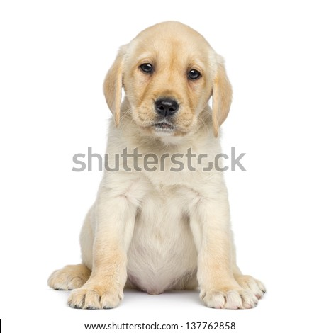 Labrador Puppy sitting and facing, isolated on white - stock photo