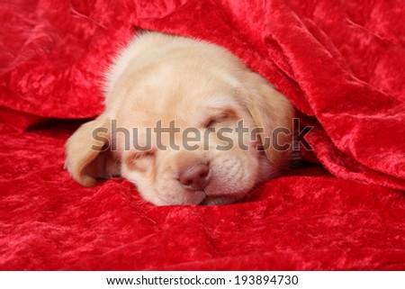 Labrador puppy sleep under red blanket - stock photo