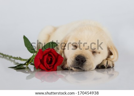 Labrador puppy sleeping on white with red rose studio shot - stock photo