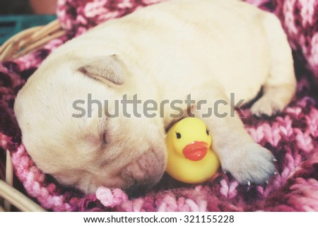 Labrador puppy sleeping with yellow rubber duck