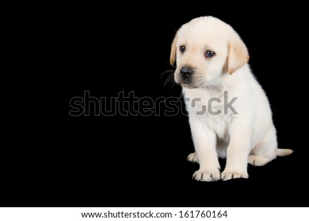 Labrador puppy standing and look sad in studio on black background with copy space - stock photo