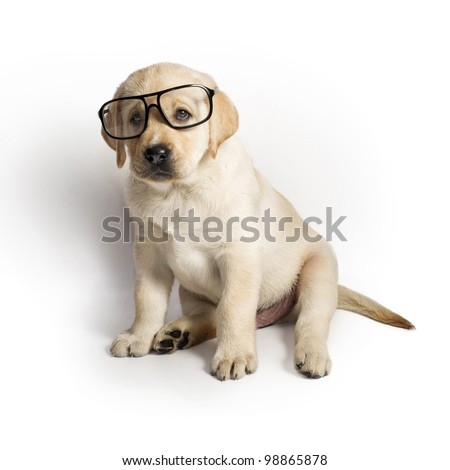 Labrador puppy wearing glasses - stock photo