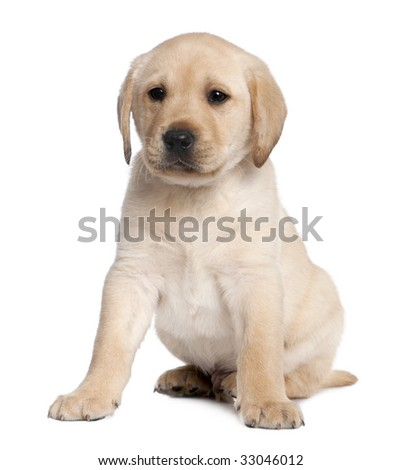 Labrador puppy (6 weeks old) in front of a white background - stock photo