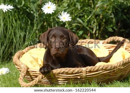 Labrador Puppy Whelp - stock photo