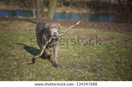 Labrador puppy when retrieving - stock photo