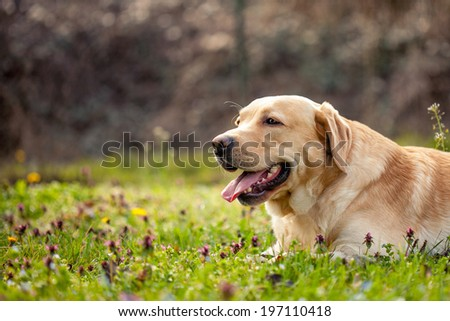 Labrador resting on the beautifull grass with flowers - stock photo