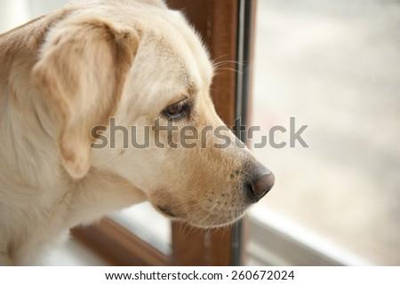 labrador retriever - stock photo