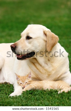 Labrador retriever and a small kitten happy together