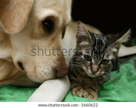 Labrador retriever and a small kitten happy together - stock photo