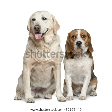 Labrador retriever and Beagle, 5 years old and 3 years old, sitting in front of white background