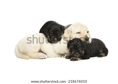 Labrador Retriever and Miniature Schnauzer black puppies isolated over white background - stock photo