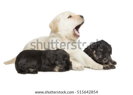 Labrador Retriever and Miniature Schnauzer black puppies isolated over white background