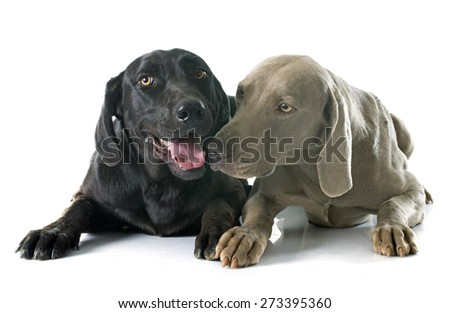 labrador retriever and weimaraner in front of white background - stock photo