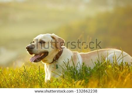 Labrador retriever at the sunrise - back lit - stock photo