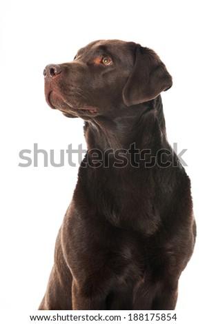 Labrador retriever dog isolated on white - stock photo