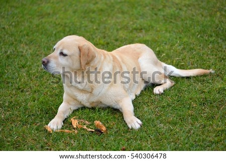 Labrador retriever dog outdoors in the grass garden