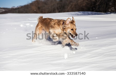 Labrador retriever dog playing in snow in the winter outdoors - stock photo