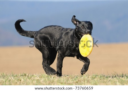 Labrador Retriever Dog puppy 4 months running with the frisbee and looks sweetly to the viewer - stock photo