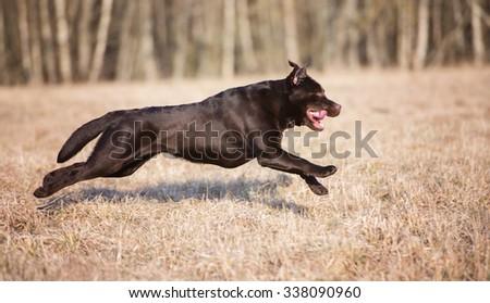 labrador retriever dog running on a field - stock photo