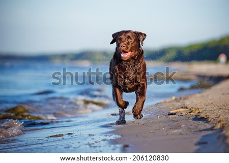 labrador retriever dog running on the beach - stock photo