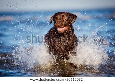 labrador retriever dog runs in water - stock photo