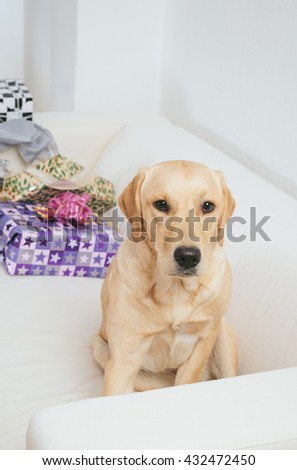 Labrador retriever dog sitting on sofa with Christmas gifts