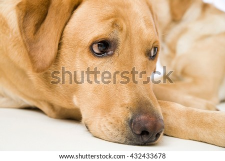 Labrador retriever dogs lying on white background