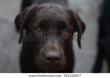 Labrador Retriever focus on nose