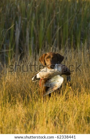 Labrador Retriever hunting ducks - stock photo