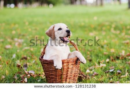 labrador retriever in basket - stock photo