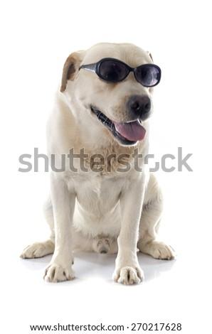 labrador retriever in front of white background - stock photo