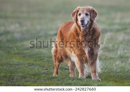 Labrador retriever in park at the sunrise - back lit. - stock photo