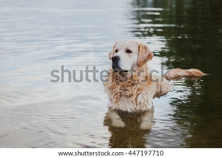 Labrador retriever is lying in water