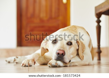 Labrador retriever is lying on the floor at home. - stock photo