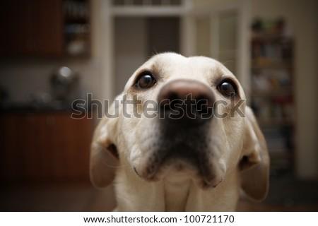 Labrador retriever is posing at home - selective focus - stock photo