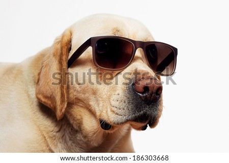 Labrador Retriever isolated on a white background. - stock photo