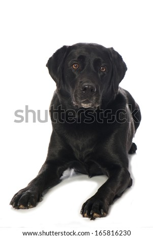 Labrador Retriever isolated on white