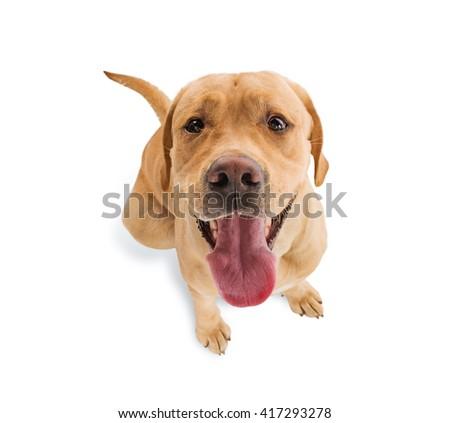 Labrador retriever isolated on white - stock photo