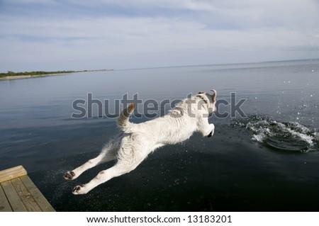 Labrador retriever jumping into water - stock photo