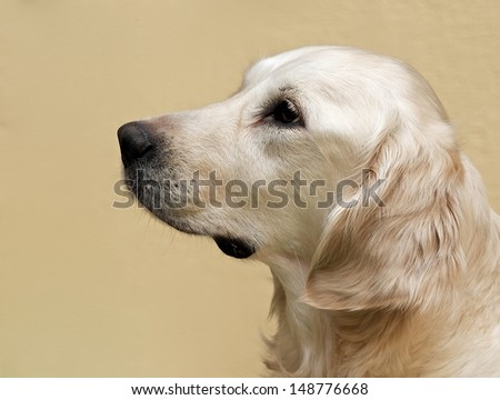 Labrador retriever, Labrador retriever portrait close up, labrador in brown cream background looking straight with space for advertising and text, dog head, labrador sitting in light background - stock photo