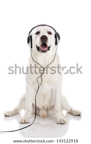 Labrador retriever listen music with headphones