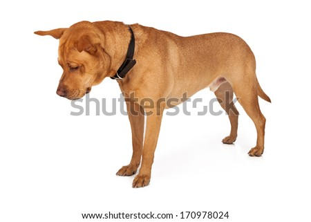 Labrador Retriever mixed breed dog looking down at the ground. Add your product on the floor.